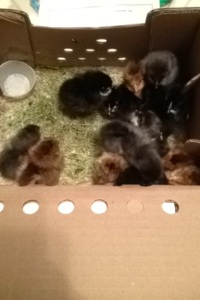 French Blue Copper Marans and French Black Copper Marans